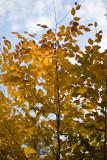 Backlit Orange Leaves