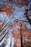 Backlit Red Leaf