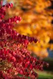 Burning Bush by Maple