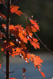 Red Maple (acer rubrum) in Autumn