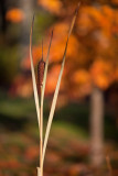 Marsh Reed and Maple