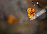 Last Orange Leaf by Brightly Lit twig