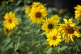 Yellow Sunflower Conga Line