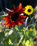 Backlit Very Red-Orange Sunflower