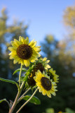 Sunflower Bunch with Evening Sky