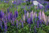Lupines and Rock