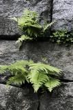 Ferns and Clover in Stone Wall