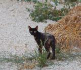 Israeli Cats