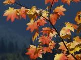 Sunlit Vine Maple