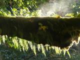 Steamed Big Leaf Maple