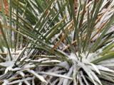 Snow on Yucca