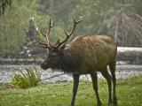 Happiness is a Wet Elk