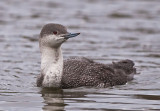 Red necked loon