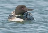 common loon - breeding plumage