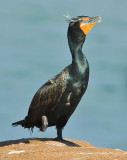 double breasted cormorant in breeding plumage