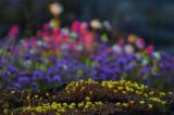 Blomsterprakten är fantastisk på vissa öar, gul fetknopp i förgrunden.