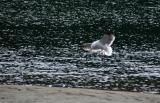 gull landing.jpg