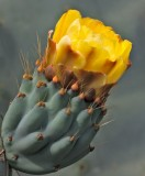 Prickly Yellow