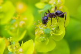 Ant, Sipping Spurge Nectar