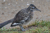 Rain-Drenched Road Runner