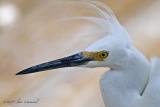 Snowy Egret...Windblown