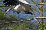 Wood Stork Taking Wing