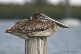 Brown Pelican...Just Sittin'