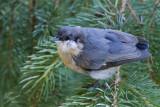 Mountain Bluebird?