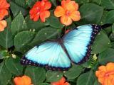 BLUE MORPHO Galllery