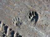 Raccoon Tracks in Mud