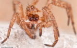 0_Alopecosa albofasciata_0000 EM-96234.jpg