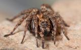 Alopecosa albofasciata_0955 EM-93710.jpg