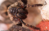 Alopecosa albofasciata_0000 EM-96150.jpg