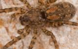 Arctosa similis_0000 EM-98640.jpg