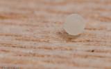 Cheiracanthium striolatum_0588 EM-96395.jpg