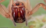 Cheiracanthium striolatum_FA0589 EM-91839.jpg