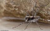 Wadicosa fidelis _MA0898 EM-90050.jpg