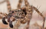 Pardosa hortensis _MA0900 EM-90133.jpg