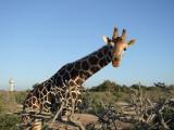 Giraffe Sir Bani Yas Island Abu Dhabi 3.jpg