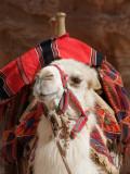 Camel Petra Jordan.jpg