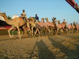 Racing Camel training at Nad Al Sheba Dubai.JPG