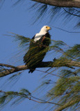 The cry of the fish eagle.