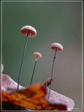 Dwergwieltje -  Marasmius bulliardii.