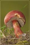 Rode Boleet - Boletus rubellus