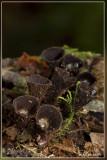 Gestreept nestzwammetje - Cyathus striatus