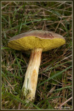 Fluweelboleet - Xerocomus Subtomentosus
