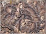 Eikhaas - Grifola frondosa
