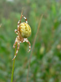 vrouwelijke Viervlekwielwebspin (Araneus quadratus)