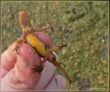 vinpootsalamander (onderzijde)