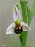 Genus Ophrys